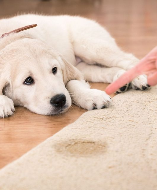 house training of guilty puppy